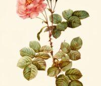 Rose water fragrance